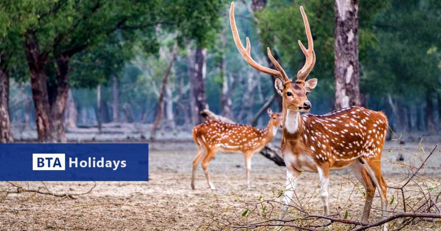 Axis Deer on Budget Sundarban Tour Package in Bangladesh