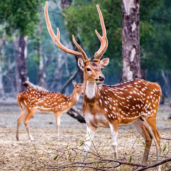Wild deer in Sundarban Tour with BTA Holidays